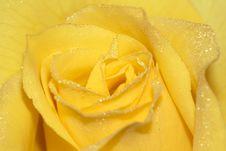 Free Rose Petals Royalty Free Stock Photo - 20907255