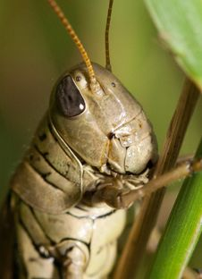 Free Close-up Of A Grasshopper Royalty Free Stock Photo - 20907365