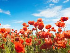 Free Red Poppy Flowers Royalty Free Stock Images - 20908599