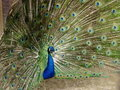 Free Male Peacock With Plumage In Full Display Royalty Free Stock Images - 20913009