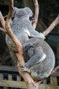 Free Australian Koala Bears Resting Ina Tree Stock Image - 20916571