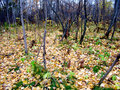 Free Autumn Forest And Yellow Leaves Stock Image - 20918781