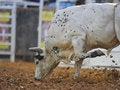 Free Got Bull Stock Images - 20918904