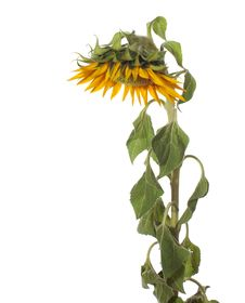 Free Sunflower Stock Photo - 20910400