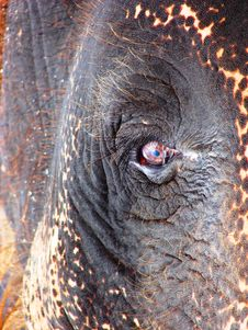 Free Elephant Eye Royalty Free Stock Image - 20910516