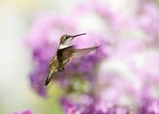 Free Hummingbird In Motion. Stock Photography - 20910532