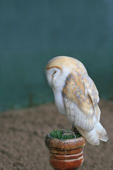 Free Barn Owl Stock Photo - 20910730