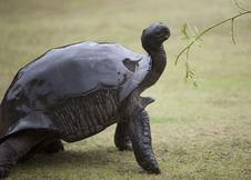Elegant Big Turtle Being Offered Green Branch Stock Photos