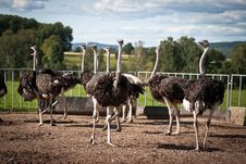 Free Group Of Ostriches Stock Photos - 20910943