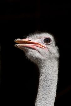 Free Isolated Ostrich Stock Photos - 20910953
