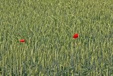 Two Poppy Flowers In Wheat Field Stock Image