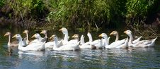 Free Geese On Small River Royalty Free Stock Image - 20911506