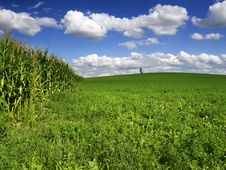 Free Corn Field Royalty Free Stock Images - 20911979