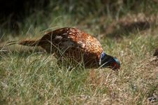 Free Pheasant [Phasianus Colchicus] Royalty Free Stock Images - 20911989