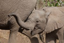 Free Elephant Calf And Mother Stock Image - 20912991