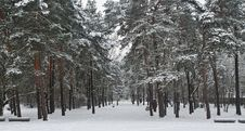 Free Snowy Forest Royalty Free Stock Photography - 20913387