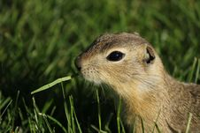 Free Gopher Eating Grass Stock Photos - 20913543