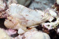 Leaf Scorpion Fish Royalty Free Stock Photo