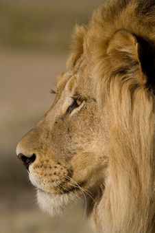 Free Close-up Of A Male Lion Face Stock Photo - 20914010