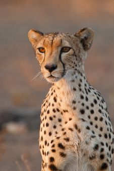 Free Cheetah Portrait Royalty Free Stock Images - 20914219