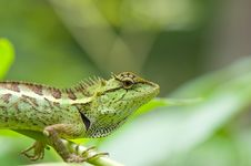 Free Lizard Stock Images - 20915434