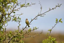 Free Greenfinch Royalty Free Stock Photo - 209155565