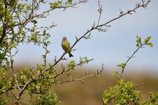 Free Greenfinch Royalty Free Stock Photo - 209155575