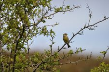 Free Greenfinch Stock Photo - 209155590