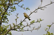 Free Greenfinch Royalty Free Stock Photo - 209155625