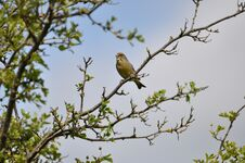 Free Greenfinch Stock Images - 209155634