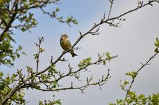 Free Greenfinch Stock Images - 209155644