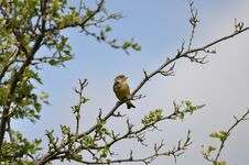 Free Greenfinch Stock Images - 209155654