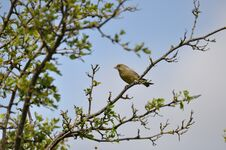 Free Greenfinch Royalty Free Stock Photos - 209155668