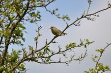 Free Greenfinch Royalty Free Stock Image - 209155676