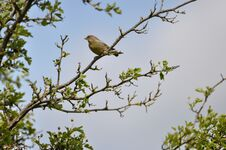 Free Greenfinch Royalty Free Stock Photos - 209155688
