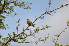 Free Greenfinch Stock Photos - 209155703