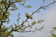 Free Greenfinch Royalty Free Stock Photo - 209155715