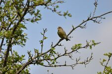 Free Greenfinch Royalty Free Stock Images - 209155719