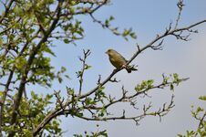 Free Greenfinch Royalty Free Stock Image - 209155726