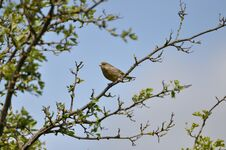 Free Greenfinch Royalty Free Stock Photo - 209155735