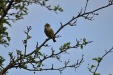 Free Greenfinch Stock Images - 209155744