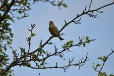 Free Greenfinch Stock Photos - 209155753
