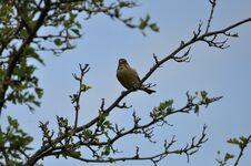 Free Greenfinch Stock Photo - 209155760