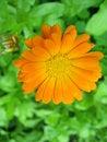 Free Orange Flower Stock Photography - 20925362