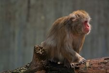 Free Japanese Macaque Sitting Royalty Free Stock Images - 20920229