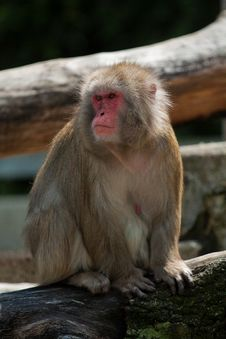 Free Japanese Macaque Sitting Royalty Free Stock Photo - 20920415