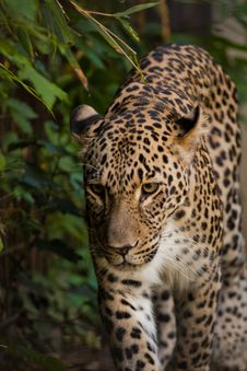 Free Leopard Walking In Greens Stock Images - 20920444