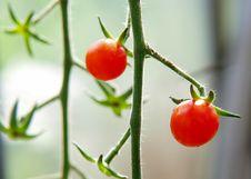 Free Cherry Tomato On Bed Stock Photo - 20921760