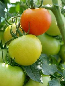 Free Red And Green Tomatoes Royalty Free Stock Photos - 20921788