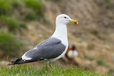 Free Herring Gull Royalty Free Stock Photos - 20923518
